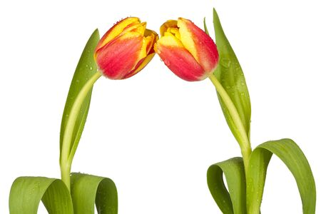 Two spring tulips photo