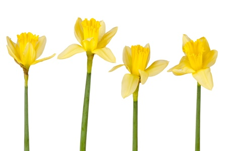 Four daffodils in front of white background