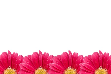Background flower pink gerbera