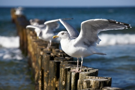 Gulls on groynes in the surf on the German Baltic coast Stock Photo