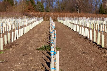 New wine vines planted on a vineyard in Baden-Wuerttemberg photo
