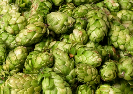 Many hops cones as background Stock Photo