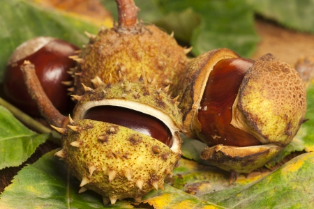 horse chestnuts: Some Horse chestnuts on colorful foliage leaves as close up view Stock Photo