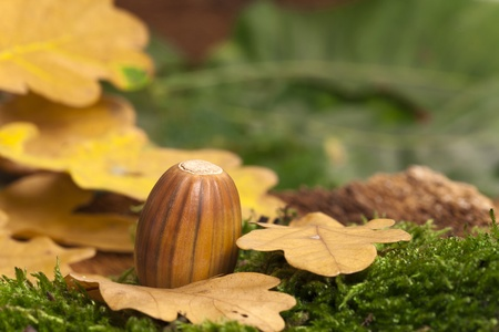 One brown striped acorn fruit on green moss with leaves in the background as close up view photo