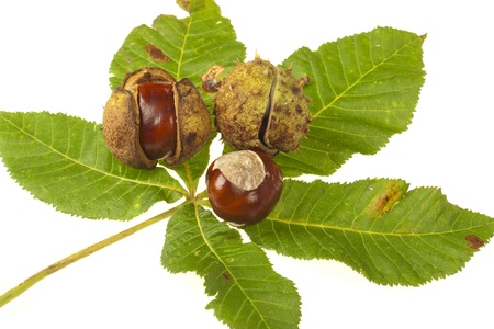 horse chestnuts: Some Horse chestnuts on green chestnut leaves on white background