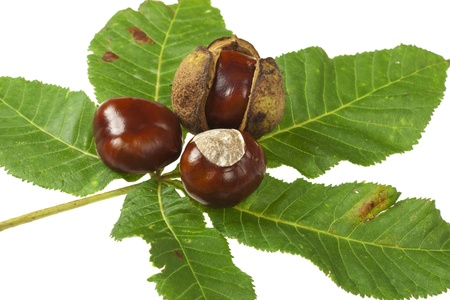 Some Horse chestnuts on green chestnut leaves on white background Stock Photo - 15767409