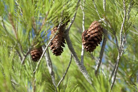 Details of some pine cones of a green pine tree Stock Photo - 17175126