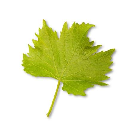 wijnbladeren: Groene wijnstokken - wijnbladeren voor witte achtergrond Stockfoto