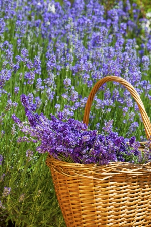 Wicker basket with freshly picked lavender in front of a lavender field in summer