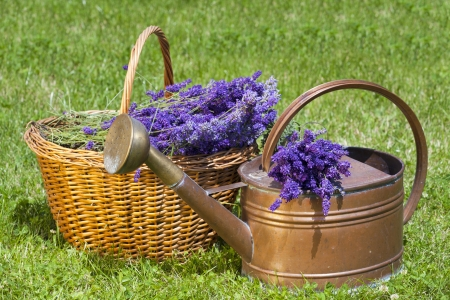 Freshly picked lavender in a wicker basket and an old copper watering can photo