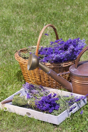 Freshly picked lavender in a wicker basket, on a wooden tray photo
