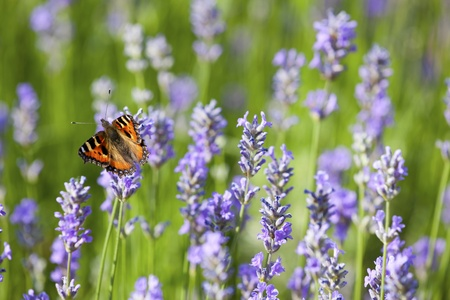 Small Tortoiseshell Butterfly on blooming lavender in summer photo