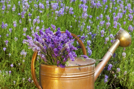 lavandula angustifolia: Freshly harvested lavender is in an old copper watering can in front of a lavender field in summer Stock Photo