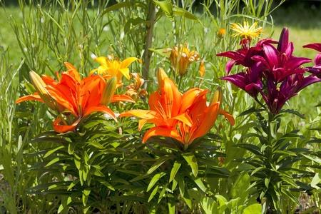 massif de fleurs: Beau lis diff�rentes couleurs dans un parterre de fleurs en �t� Banque d'images