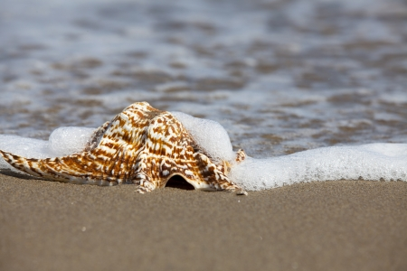 Close up view of a single Conch Shell is lying flat in the Sand on the Beach and will flow around from Seawater with Copy Space in the right part of image photo