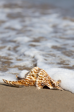 Close up view of a single Conch Shell is lying flat in the Sand on the Beach and will flow around from Seawater with Copy Space in the upper part of image photo