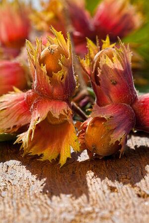 corylus: Hazelnut fruits Red Zellernus from the tree on wooden board