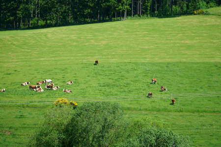 grazing cows: Open countryside with grazing cows in the Black Forest