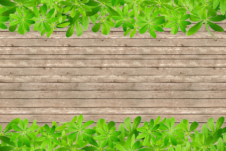 woodruff: Sweet woodruff leaves as Frame, top and bottom on rustic planks Stock Photo