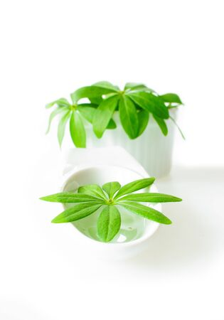 woodruff: Fresh sweet woodruff leaves in a white porcelain dish on white Background Stock Photo
