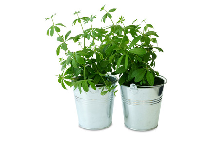 plantas medicinales: Two metal bucket with a fresh woodruff plants in front of white background Foto de archivo