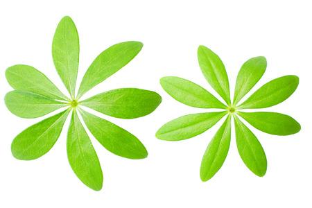 sweet woodruff: Macro shot Sweet woodruff leaves in front of white background