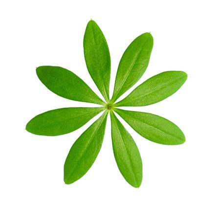 woodruff: Macro shot Sweet woodruff leaves in front of white background