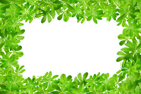 woodruff: Frame made from sweet woodruff leaves in front of white background Stock Photo