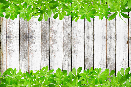 woodruff: Frame from sweet woodruff leaves, top and bottom on rustic planks Stock Photo
