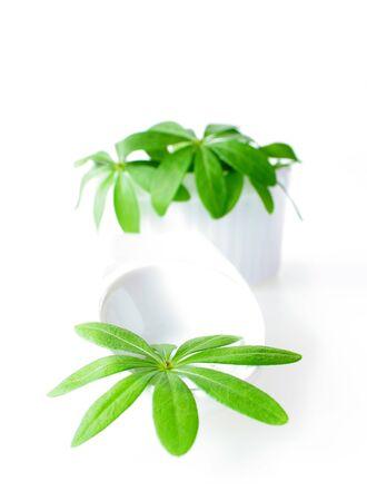 sweet woodruff: Fresh sweet woodruff leaves in a white porcelain dish on white Background Stock Photo