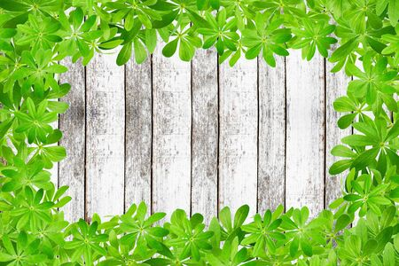 woodruff: Frame from sweet woodruff leaves on rustic planks Stock Photo