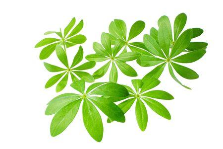 sweet woodruff: Fresh Sweet woodruff leaves in front of white background