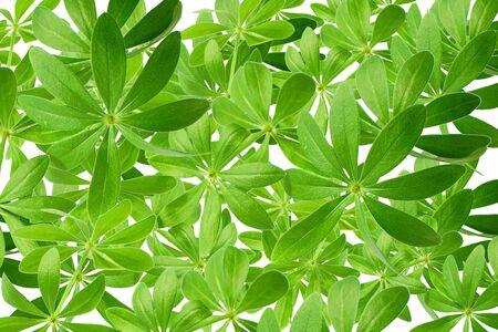 woodruff: Many green woodruff leaves as a background Stock Photo