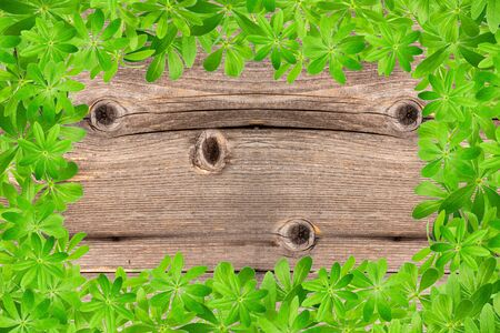 woodruff: Sweet woodruff leaves as Frame on old rustic wooden planks
