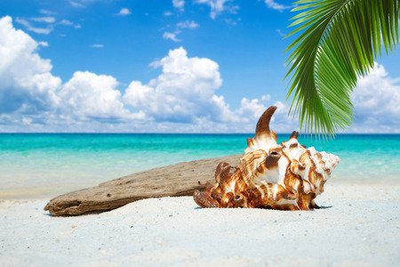 palm frond: Large seashell and drift wood under palm frond on the sunny beach