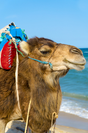 A dromedary with saddle for riding on the beach of Tunisia