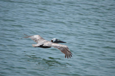 Flying Pelican photo
