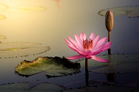De roze lotusbloem Stockfoto