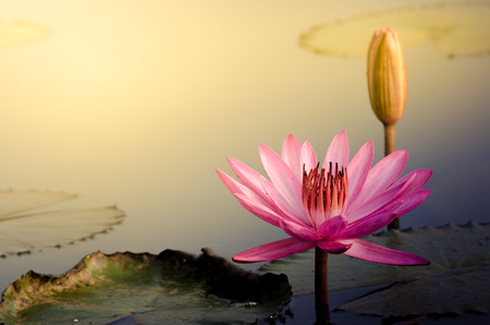The Pink Lotus Flower Stock Photo - 36486155