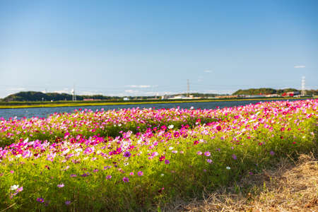 Autumn cherry blossoms bloom beautifully in the autumn weather of the blue sky (Fukuoka Prefecture, Japan) Stock Photo