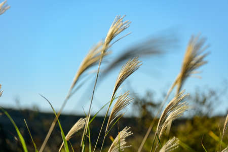The refreshing blue sky of autumn and the grassland of Susuki (Fukuoka)