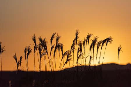 Beautiful Susuki shining in the light of dusk (Fukuoka Prefecture)