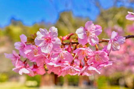 Blue sky and beautiful cherry blossoms in early spring Kitakyushu, Fukuoka Prefecture
