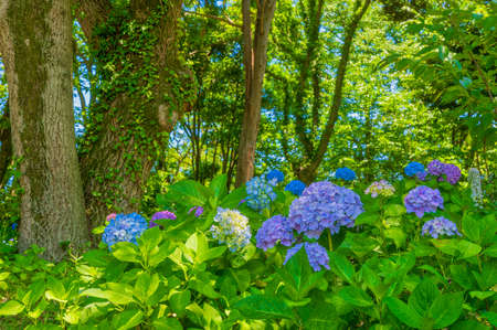 Hydrangea in full bloom in early summer