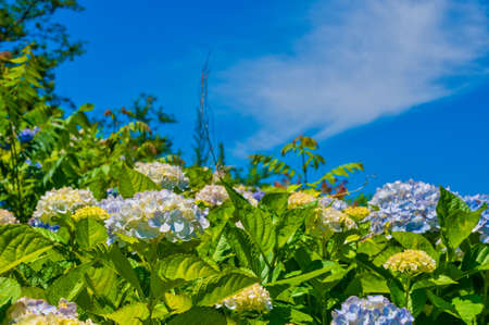 Beautiful hydrangea in full bloom in Takatoyama Park