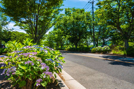 Hydrangea in full bloom in Takatoyama Park 写真素材