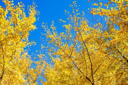 Golden Taibara Ginkgo Trees and Blue Sky (Fukuoka Prefecture)
