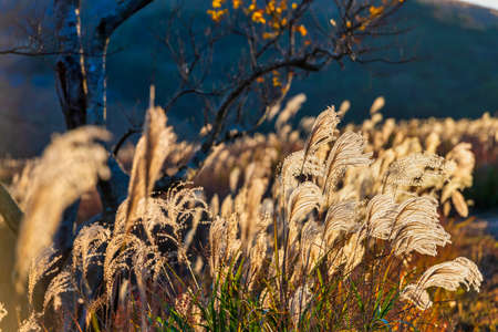 Susuki of Hiraodai in autumn shining in the sunset (Fukuoka Prefecture)