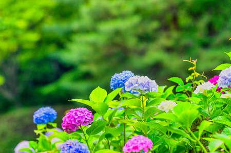 Beautiful hydrangea in full bloom