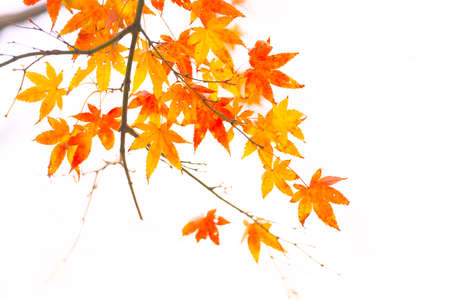Beautiful autumn leaves colored red in autumn in Japan Archivio Fotografico